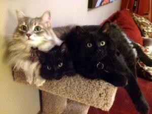 Our three cats, Pixie, Shira and Kibo